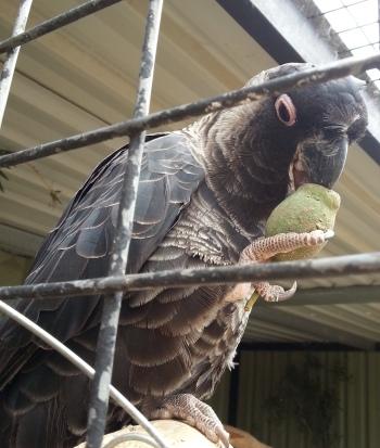 black cockatoo eating a marri nut