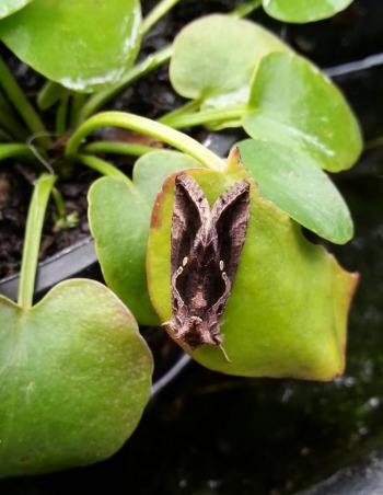 moth on a pond plant