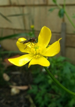 hoverfly on ranunculus in my bog garden