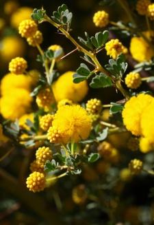 Acacia pulchella pretty flowers and thorns