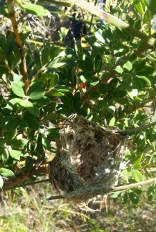 bird nest in Hakea ruscifolia