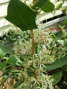 hakea prostrata in my garden
