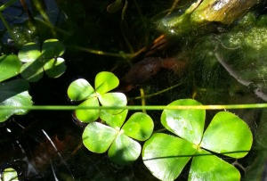 tadpole in my pond
