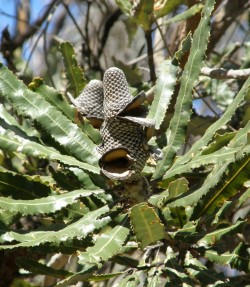 open banksia cone