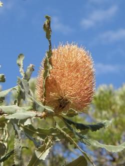 early Banksia menziesii flower