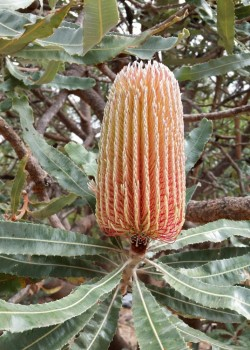 Banksia menziesii in bud