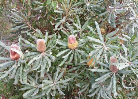 Banksia menziesii at Lake Gwelup