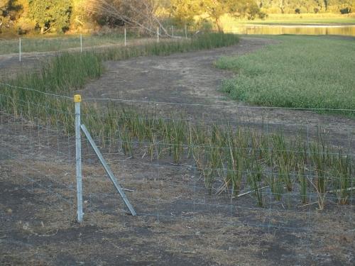 Baumea articulata along the fenceline