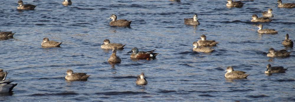 ducks at Lake Gwelup