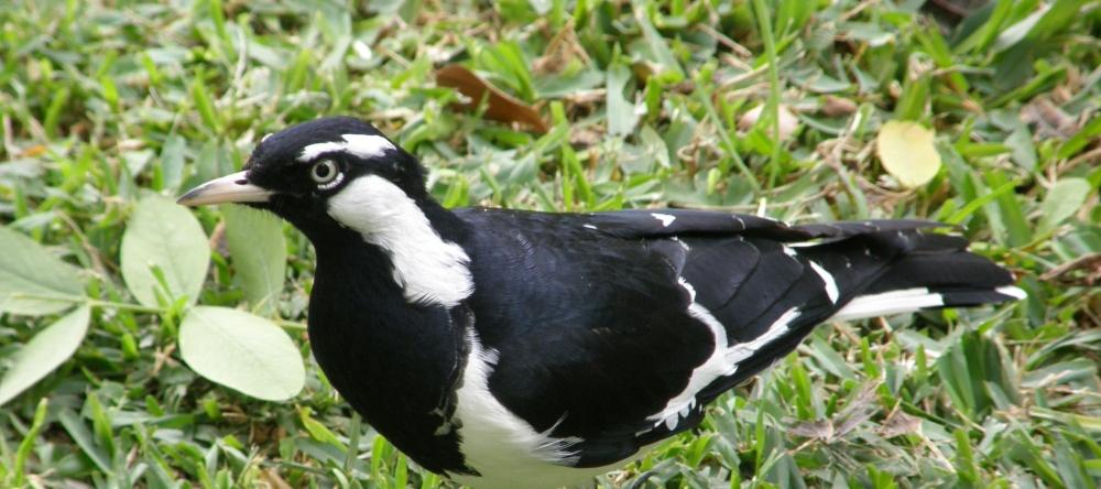 magpie lark in my garden
