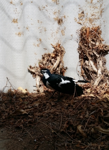 magpie lark in the leaf litter