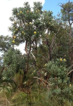 yellow Banksia menziesii