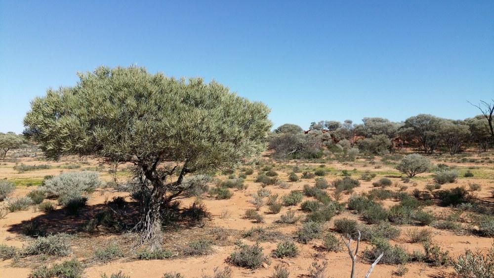 Acacia pruinocarpa