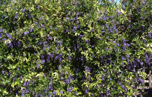 Hardenbergia growing on my fence