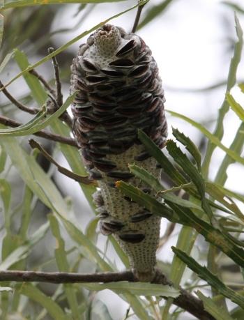 Banksia littoralis cone