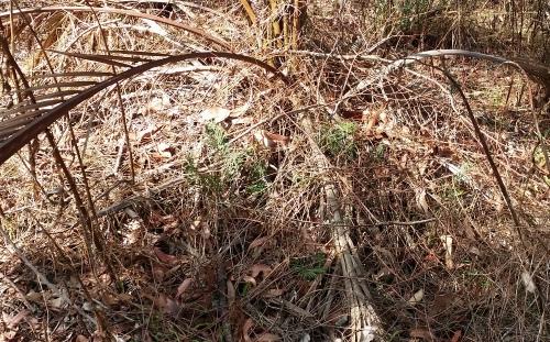 zamia seedlings in the leaf litter