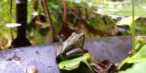 frog hopping away